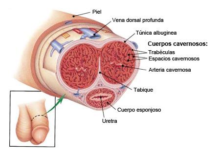 anatomia_pene_ampliada