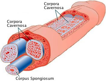 corpora-cavernosa